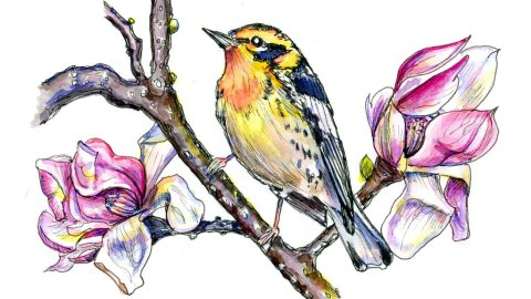 Day 11 - Magnolia Flowers And Warbler Watercolor Illustration