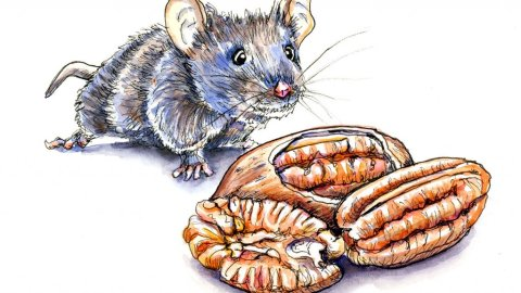 Mouse And Pecan Nuts Watercolor Illustration