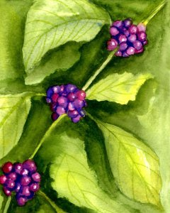 11/12/19 Berries. American Beautyberry, a plant native to the Southeast United States. Food for bird