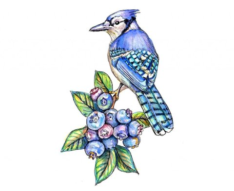 Blue Jay And Blueberries Watercolor Illustration