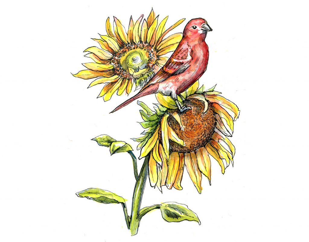 Sunflowers and Red Finch Watercolor Illustration