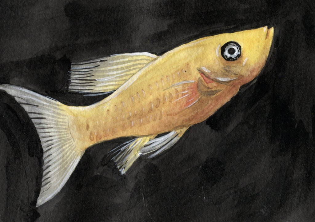 Golden Molly Fish Watercolour Painting