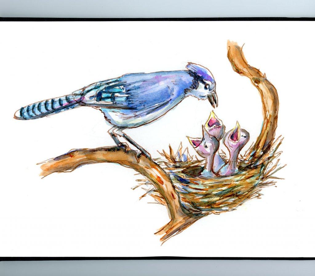 Blue Jay Nest Baby Birds Watercolor Illustration Sketchbook Detail