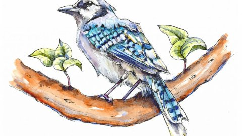 Blue Jay Watercolor Illustration