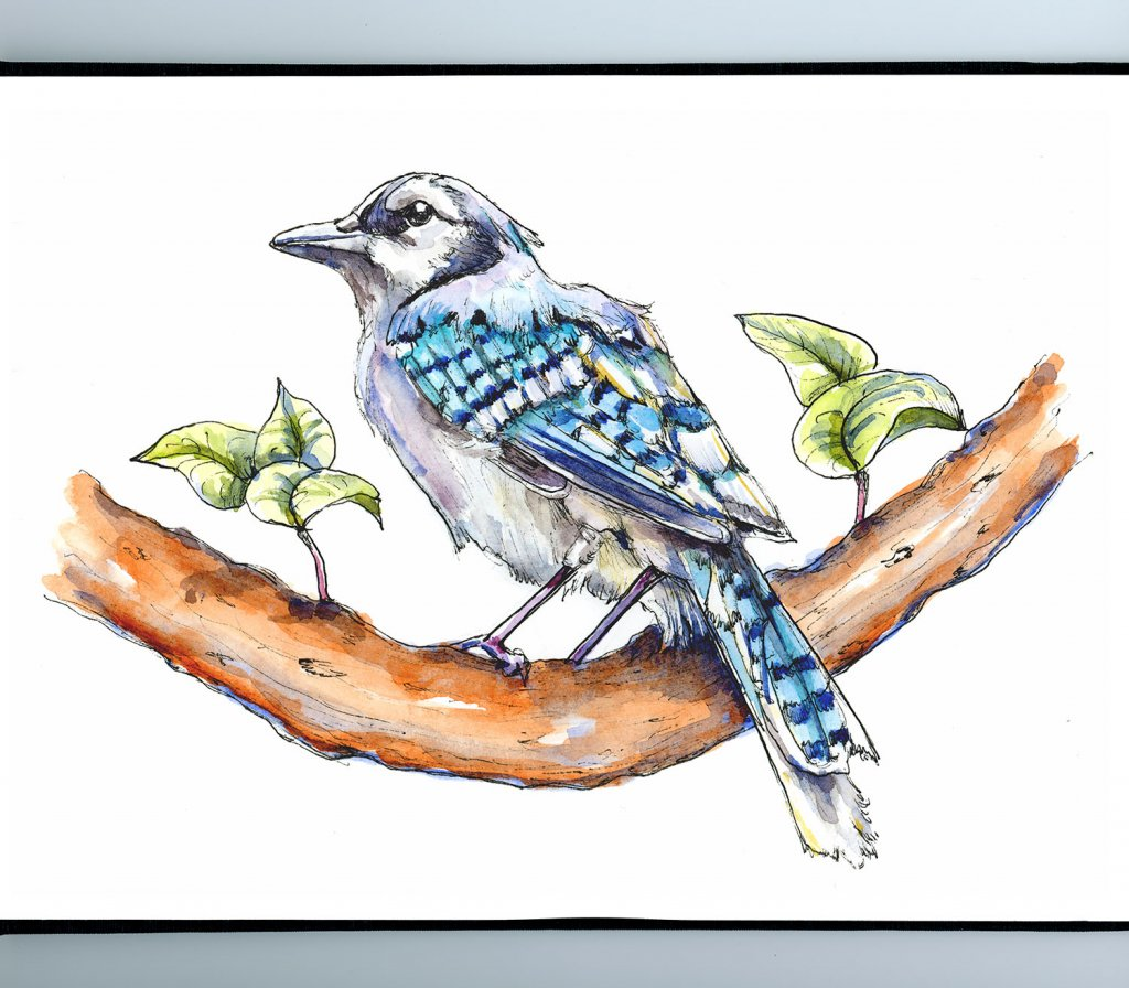 Blue Jay Watercolor Illustration Sketchbook Detail