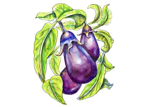 Eggplant On The Vine Watercolor Illustration
