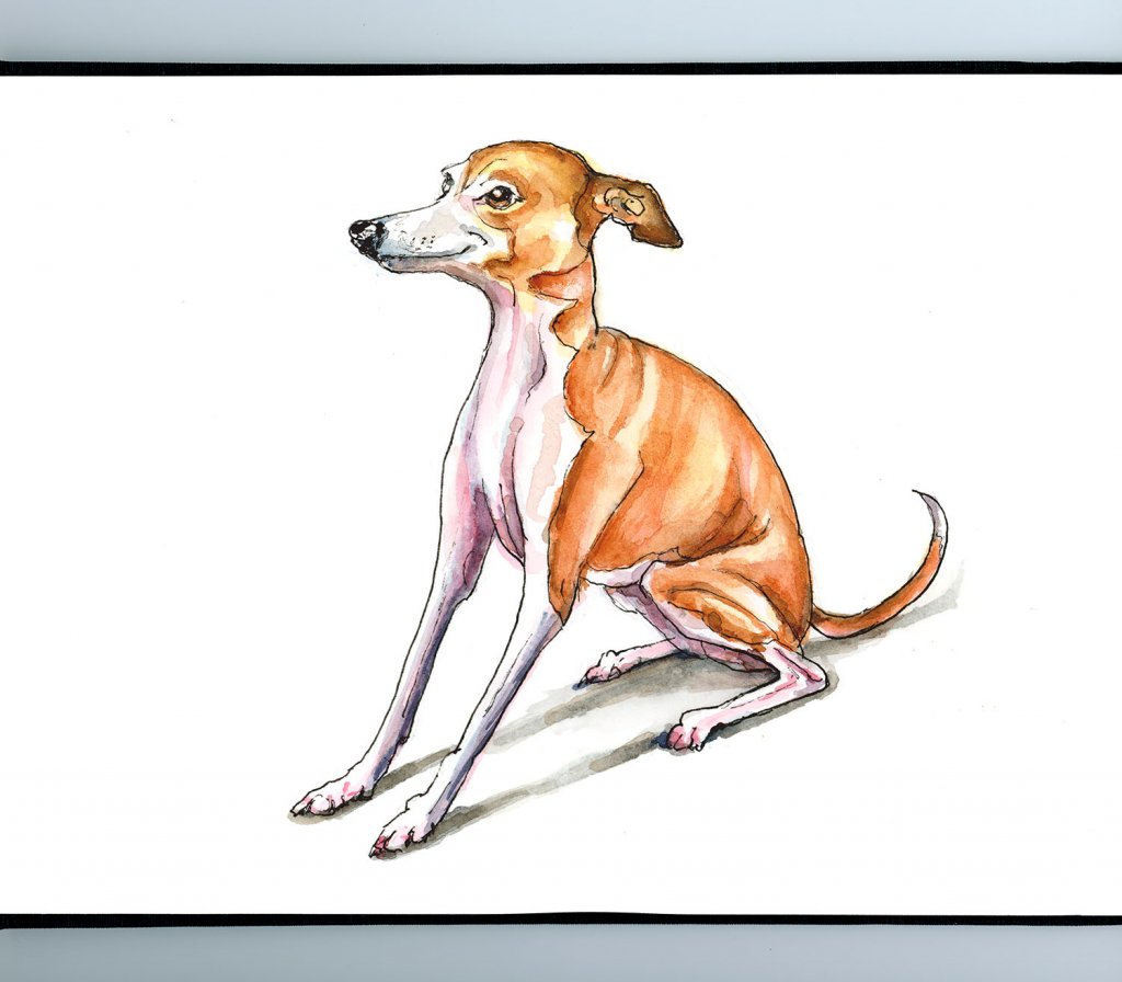 Greyhound Red Fawn Watercolor Illustration Sketchbook Detail