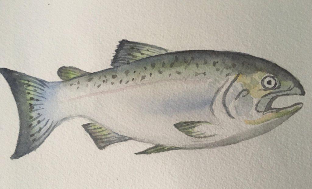 Day 20 salmon IMG_2483