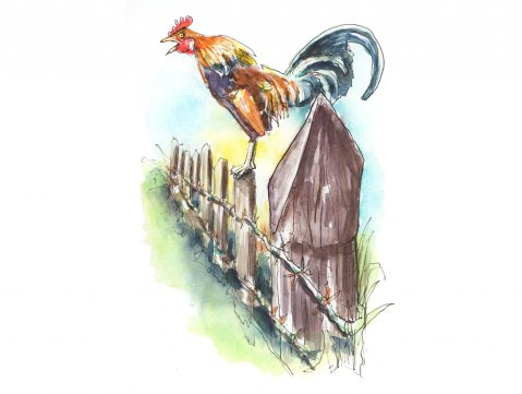 Rooster Crowing On Fence Watercolor Painting Illustration