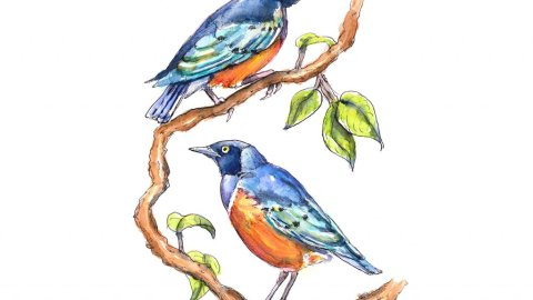 Superb Starlings In Tree Branches Watercolor Illustration Painting
