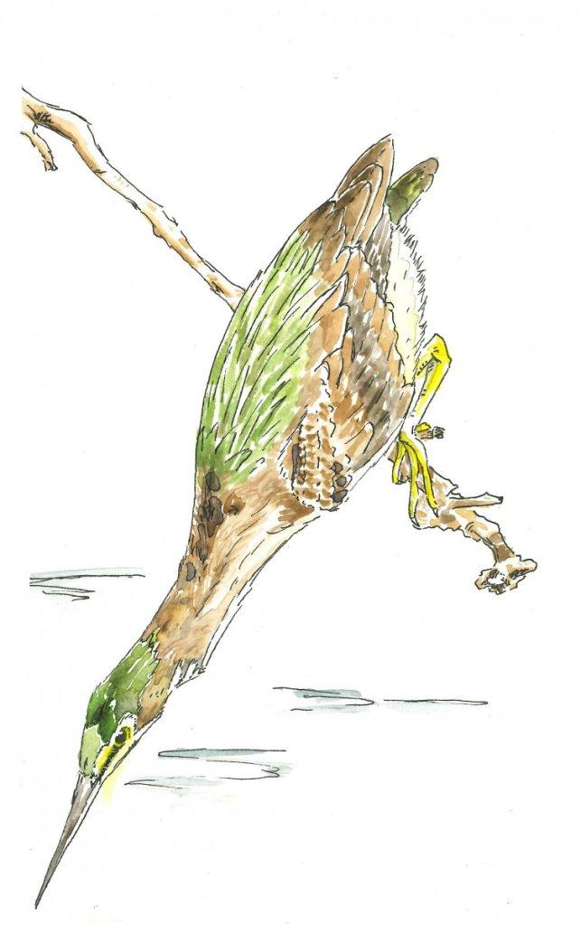 Green Heron greenheron