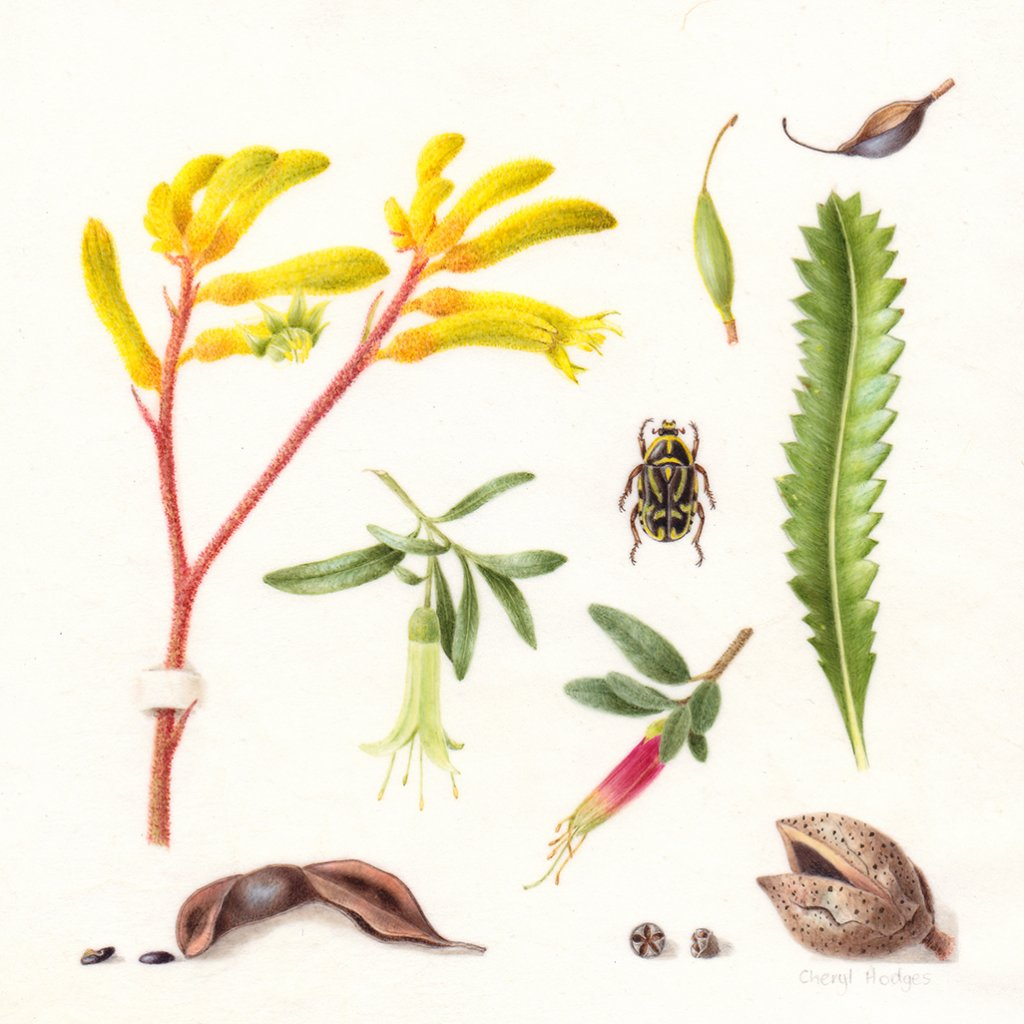 australian native collection botanical illustration by Cheryl Hodges