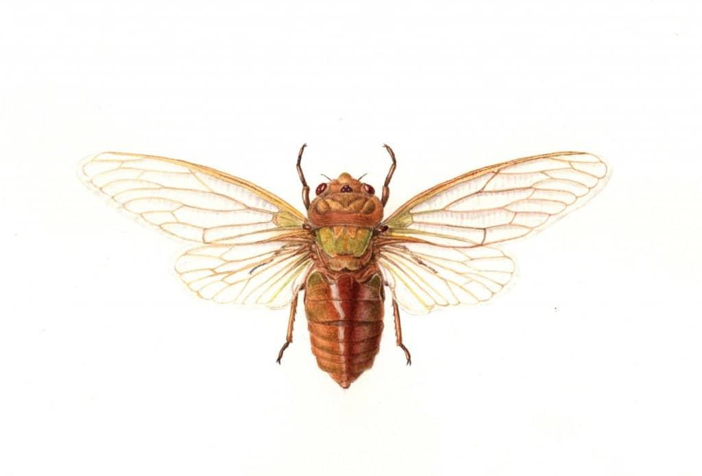 cicada yellow monday botanical illustration by Cheryl Hodges