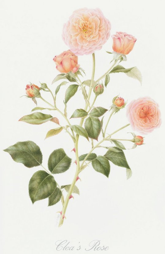 cleas rose watercolor painting