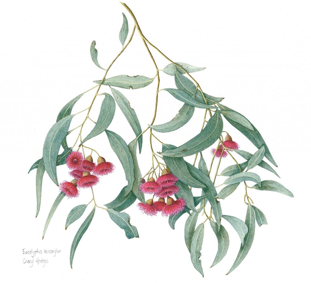 eucalyptus leucoxylon red Watercolor Botanical Illustration by Cheryl Hodges
