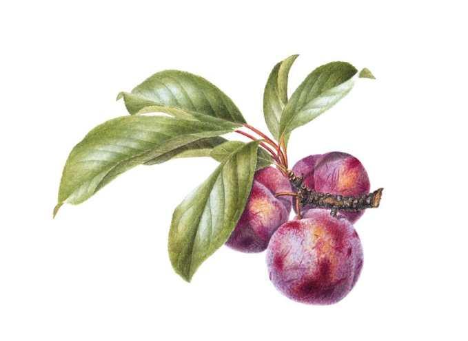satsuma plum Watercolor Botanical Illustration by Cheryl Hodges