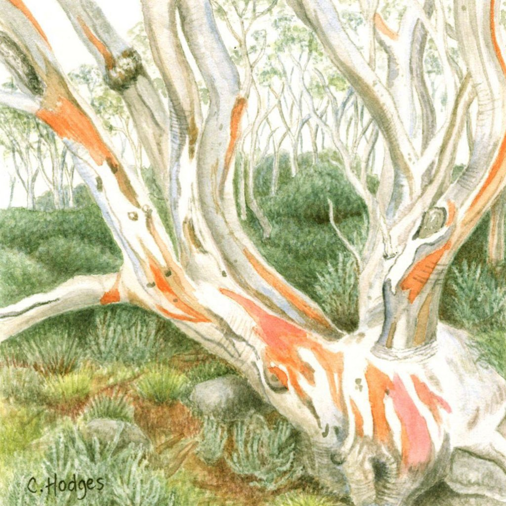 snowgum tree painting by Cheryl Hodges