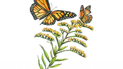 Goldenrod Monarch Butterflies Watercolor Painting Illustration
