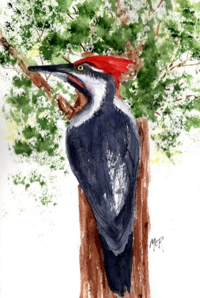 4/8/21 Woodpecker A Pileated woodpecker paid a visit to an oak tree in our back yard a few days ago.