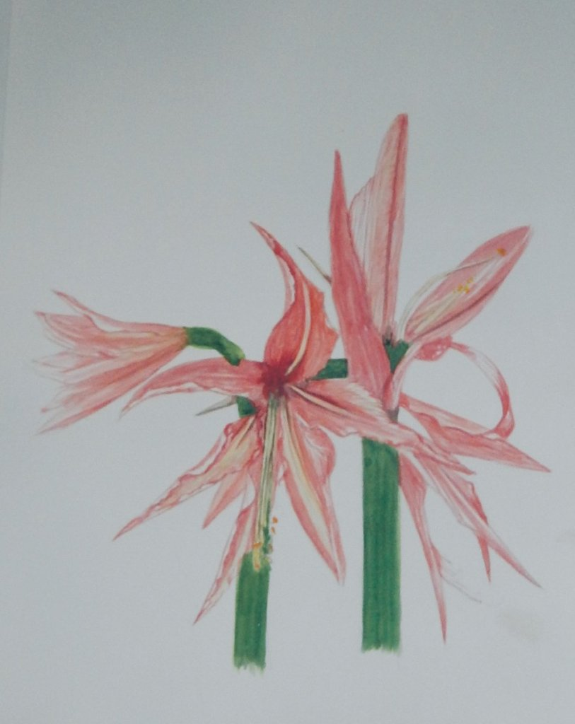 World Watercolour Group™. SUMATRA is the second Amaryllis in the series . The name I am not 1