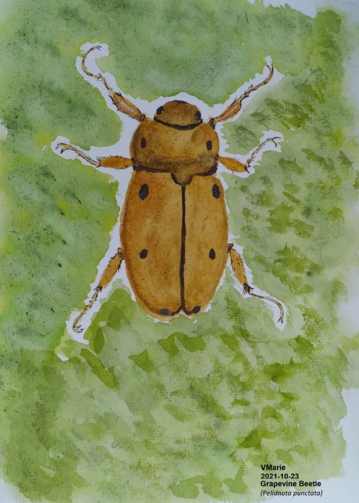 2021-10-23 Prompt 23 Grapevine: The grapevine beetle (Pelidnota punctata) is common in the north and
