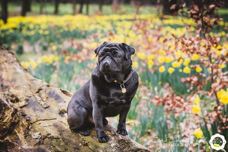 pug on a log