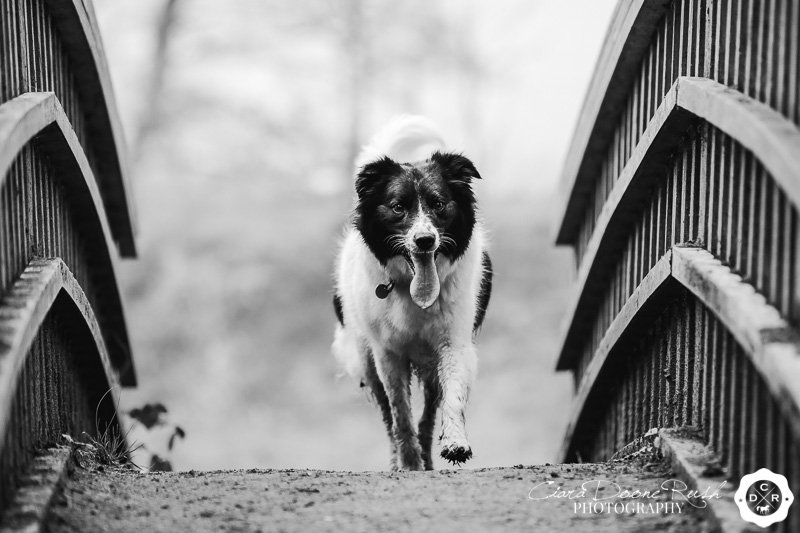 Collie dog in Marbury Park