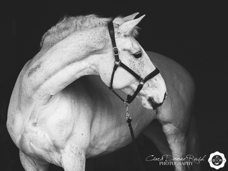 black and white portrait of a grey horse