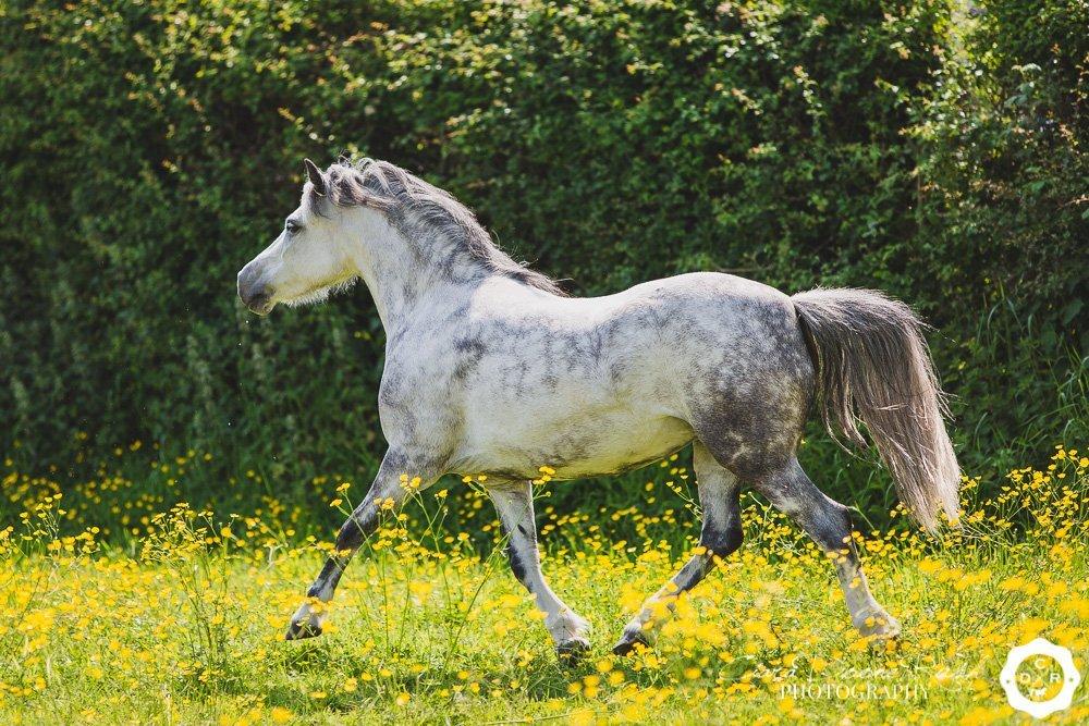Welsh Pony At Liberty Photo Shoot