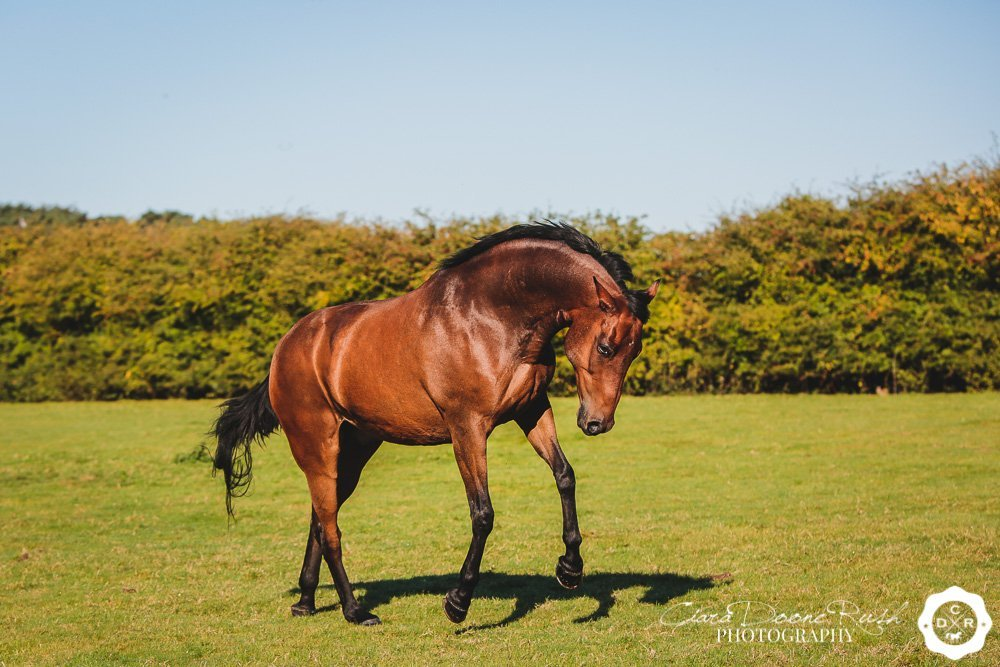 A bay horse having a canter around a field