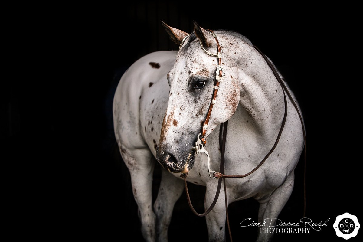 an appaloosa horse on a photo shoot