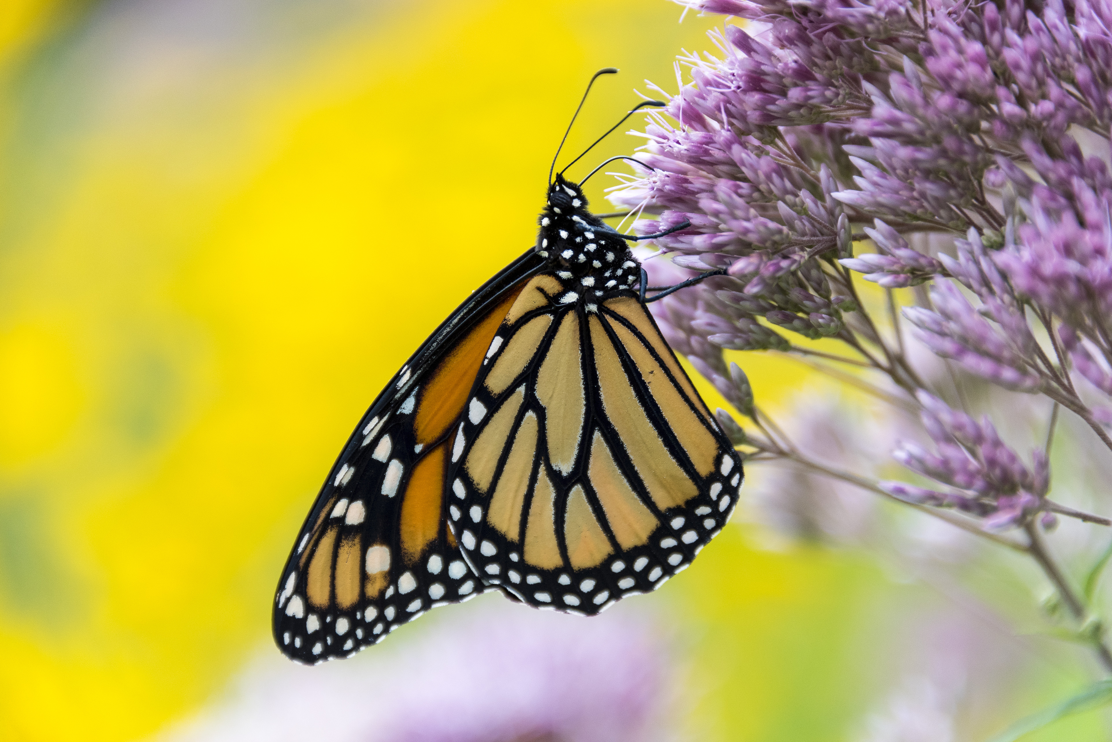 Journey Of A Lifetime The Great Migration Of The Monarch