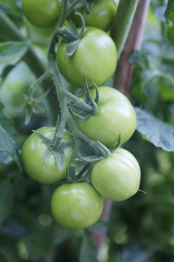 160814-Tomatos-Green