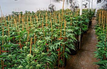 Review: Fox Cannabis Dispensary