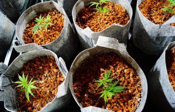 Review: Honest Marijuana Co.