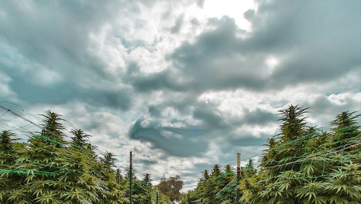 Constellations of Cannabis: Star Leaf Farms 4