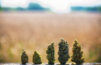 BEHIND THE WALL: Mexico's Evolving Cannabis Landscape
