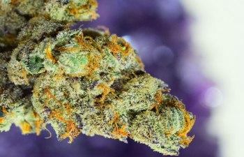 Dosidos Colorado The Herbal Cure