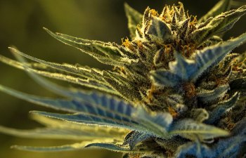 State Flower Cannabis - Las Vegas, NV & San Francisco, CA