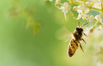 Hope Found in Hops After Honeybee Decline