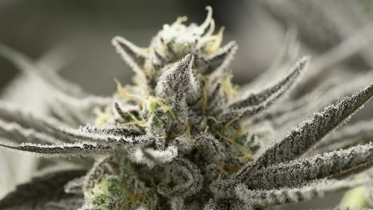 New HSO Fast Strains: Grow The Best American Flavors In Less Time