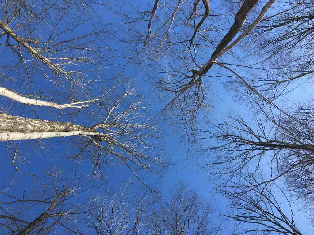 blue sky with tall bare trees look up