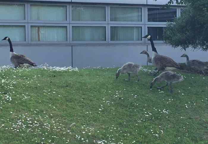 geese at ceme blogconlondon