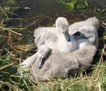 cute fluffy baby swans signets