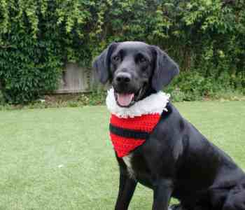 Black springador dog sitting on grass wearing crochet Santa bandanna