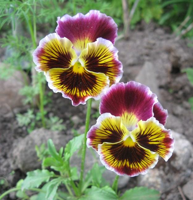pansies, flower
