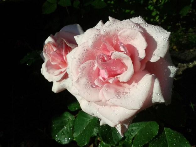 Pink rose, flower