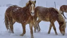 Haflinger Pferde im Schnee - Eder Kurt