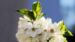 Weichselbaumblüte