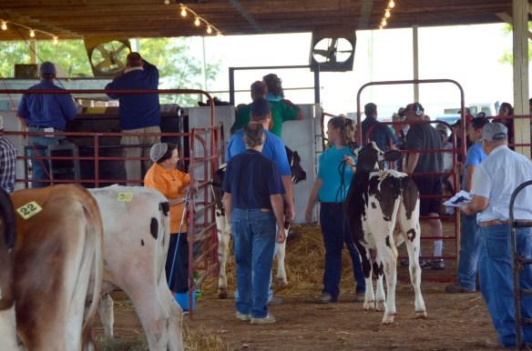 Heifer Auction (4)